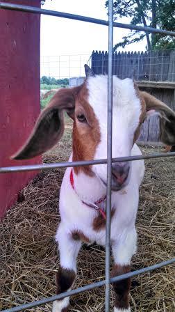 goat2