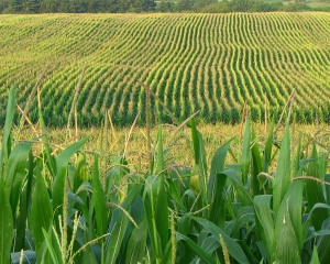 photo from kellysluckyyou.com... few things I love to see more in the summer than a field full of corn